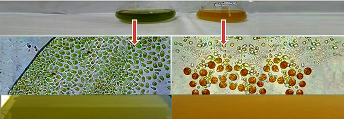 Beta Carotene - Dunalilla salina algae